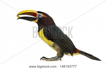 Green aracari eating, Pterogossus Viridis isolated on white