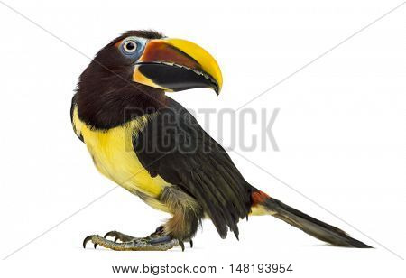 Side view of a Green aracari, Pterogossus Viridis questionning isolated on white