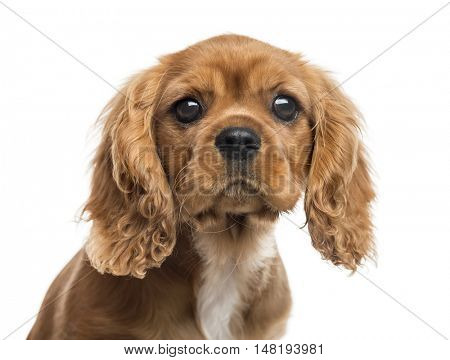 Close-up of Cavalier King Charles Spaniel puppy, 3 months old, isolated on white