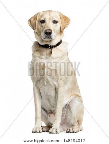 Labrador Retriever, 4 years old, sitting and looking at camera, isolated on white
