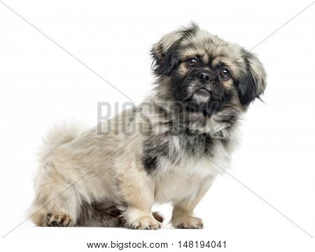 Pekingese, 2 years old, sitting to the side and looking at camera, isolated on white