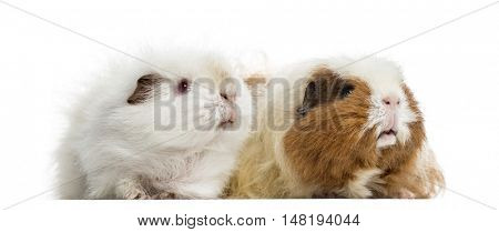 Two Guinea Pigs standing together, 4 and 3 years old, isolated on white