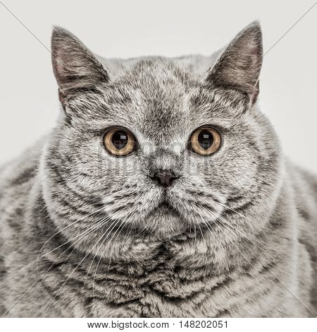 Close-up of British Shorthair, 6 years old, looking at camera, isolated on white
