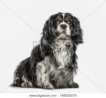 Cavalier King Charles Spaniel, 5 years old, sitting and looking at camera, isolated on white