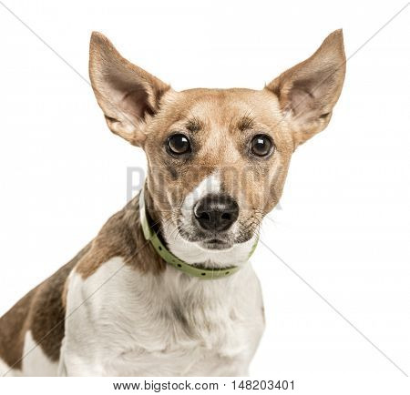 Close-up of Jack Russell Terrier, 2 years old, isolated on white