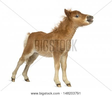 Side view of a young poney, foal whinnying against white background
