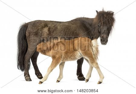 side view of a Mother poney and her foal feeding against a white background