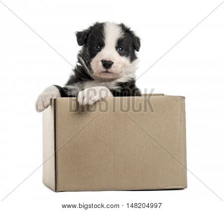 Young crossbreed puppy getting out of a box isolated on white