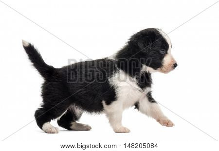 Side view of a 21 days old crossbreed puppy walking isolated on white