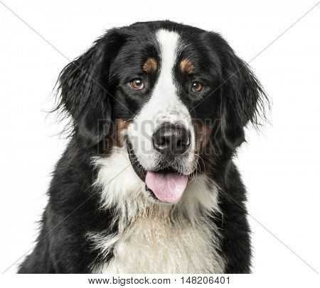 Close-up of Bernese Mountain Dog panting, 2 years old, isolated on white