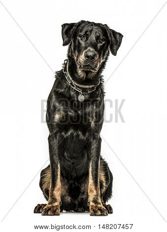 Beauceron sitting down, 16 months old, isolated on white background