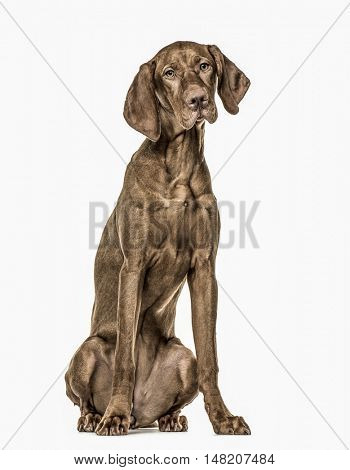 Vizsla puppy sitting, 6 months old, isolated on white