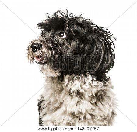 Close-up of Havanese looking away from camera, 1 year old, isolated on white