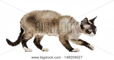 Devon rex cat sneaking isolated on white