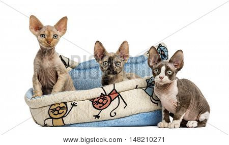 Group of Devon rex kittens playing in a pet basket isolated on white