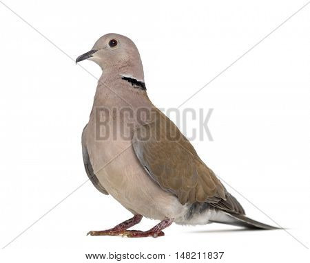 Side view of an African collared dove isolated on white
