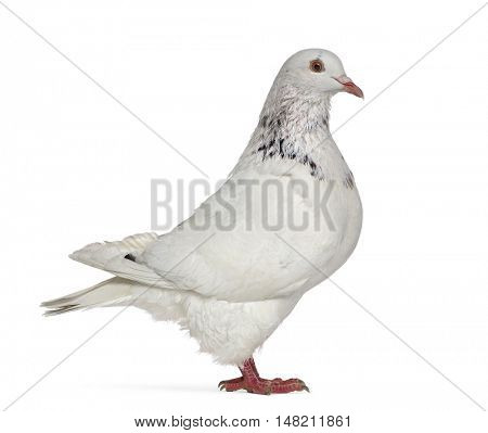 Side view of a Texan pigeon isolated on white
