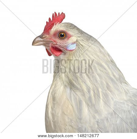 close-up of a Belgian hen isolated on white