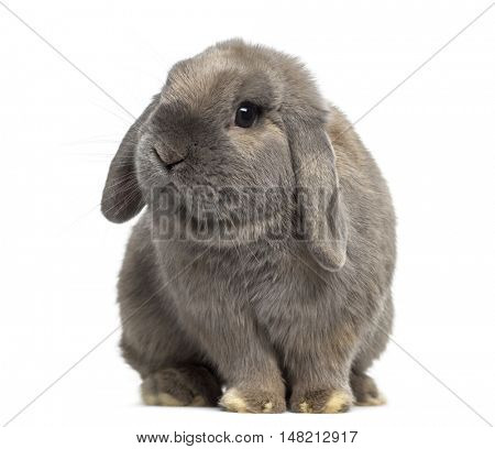 Cute Holland Lop rabbit isolated on white