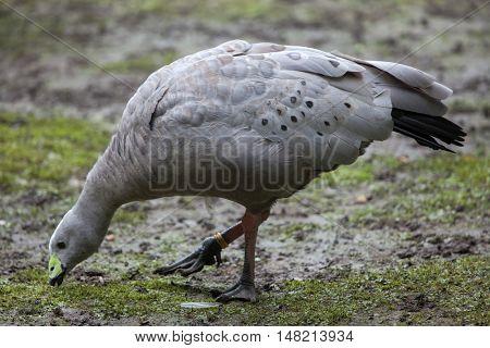 Cape barren goose (Cereopsis novaehollandiae). Wildlife animal.