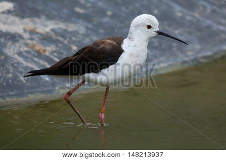 Black-winged stilt (Himantopus himantopus), also known as the pied stilt. Wildlife animal.