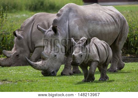 Southern white rhinoceros (Ceratotherium simum simum). Female rhino with its newborn baby. Wildlife animal.