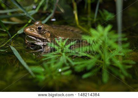Marsh frog (Pelophylax ridibundus). Wildlife animal.