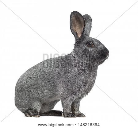 Side view of Argente rabbit isolated on white