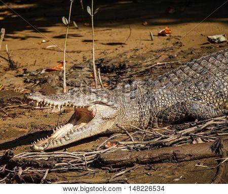 Estaurine Crocodile in Daintree river Australia. animal in wild.