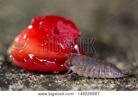 Rough woodlouse (Porcellio scaber) eating yew berry. Terrestrial rustacean in the family Porcellionidae feeding on fallen fruit at night
