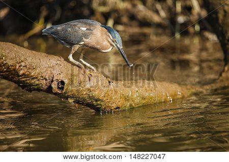 little heron fishing in Daintree river Australia
