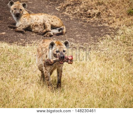 Spotted Hyaena gnawing a bone Tanzania. animal in wild.