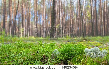 Ground Level View of Summer Coniferous Forest Shallow Depth of Field