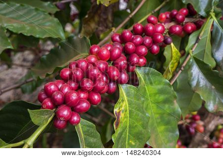 Coffee cherries crop bean farm agriculture Brazil