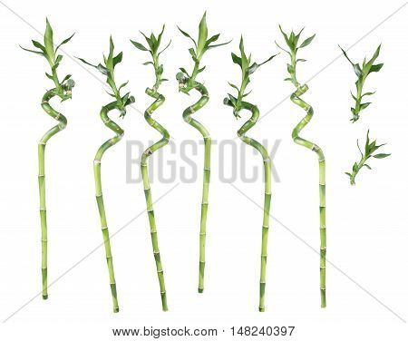 Set of separate stems of Lucky Bamboo (Dracaena Sanderiana) twisted in a spiral shape with green leaves isolated on white background