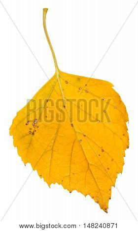 Yellow Fallen Leaf Of Birch Tree Isolated On White