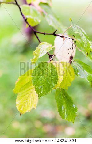 Rain Drops On Leaves Of Boxelder Maple