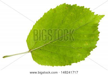 Back Side Of Green Leaf Of Ash-leaved Maple Tree
