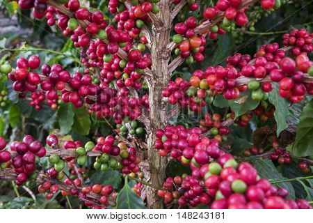 Coffee cherries crop bean farm organic agriculture Brazil