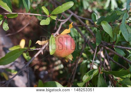 Pomegranate Ripening On The Tree