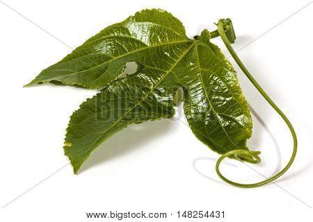 Single Green Leaf And Tendrils Of The Granadilla Vine