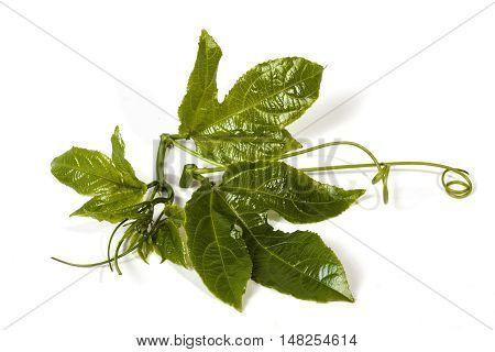 Green Leaves And  Tendrils Of The Granadilla Vine