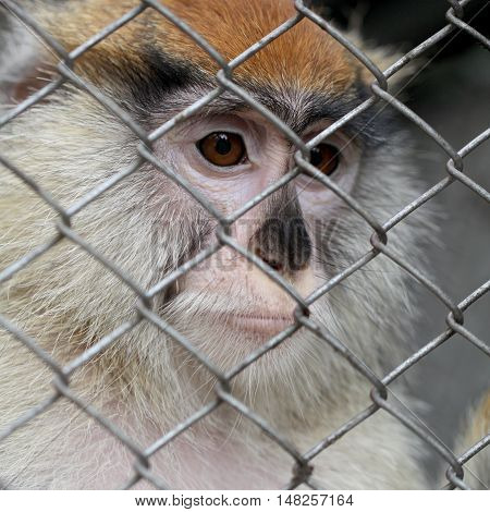 Sad monkey portrait in cage at zoo