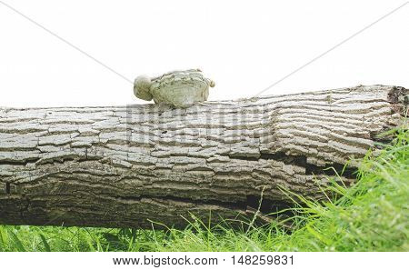 Tinder on stump walnut tree on a white background