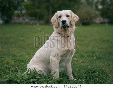 White Labrador Retriever Sitting On Green Background