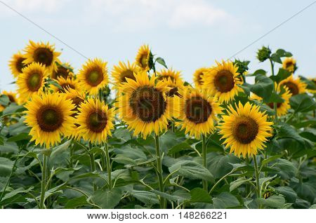 Field with sunflowers. Raw materials for the food industry. Used for the production of vegetable oil, margarine, mayonnaise, polish and soap.