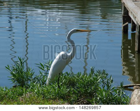 A great white egret fishes at the end of a dock near a marina.