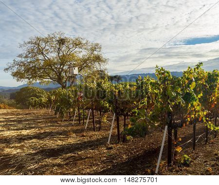 Late autumn colors of a Sonoma Valley vineyard after harvest. Colorful Sonoma Valley wine country at harvest time. Thick clouds at sunset.