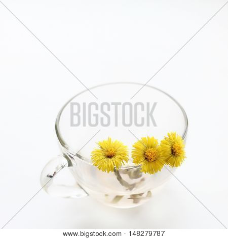 foalfoot (Tussilago farfara). spring flowers in a transparent cup on a light background