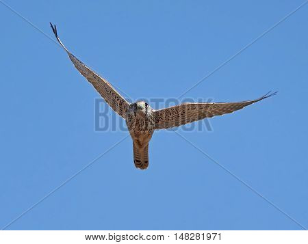 Common kestrel (Falco tinnunculus) in flight with blue skies in the background